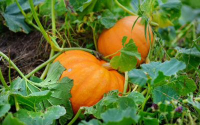 Pumpkin and Spice Gardening is Nice